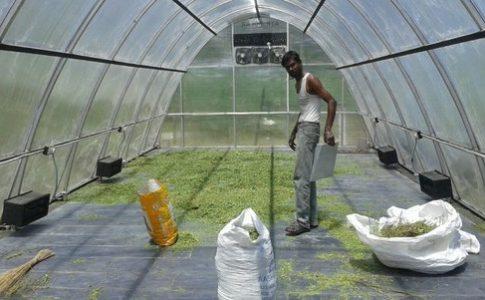 Solar Drier for Moringa Leaves